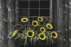 Sunflowers on Barn